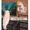 Какаду- абсолютно ручные птенцы из питомников европы