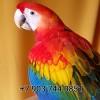 Красный ара ara macao  ручные птенцы из питом европы