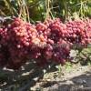 Саженцы винограда в горшках и с землей