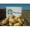 Семенной картофель в москве